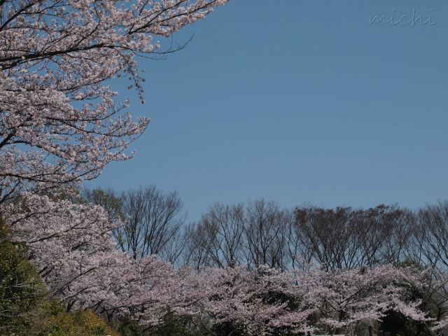 桜5.jpeg